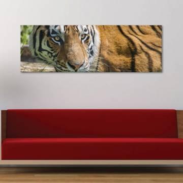 Wild tiger - tigris - vászonkép